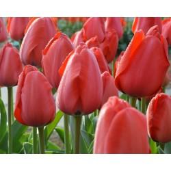 Tulipan Darwina Parade 5 SZT