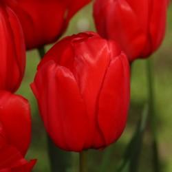 Tulipan Darwina Red...