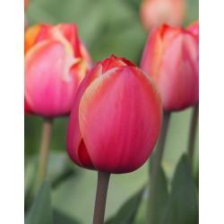 Tulipan Darwina Ad Rem 5 SZT