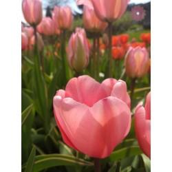 Tulipan Darwina Design...