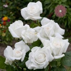 Róża Wielkokwiatowa Anna Purna