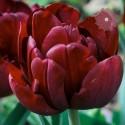 Tulipan Pełny Antraciet 5 SZT