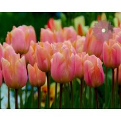 Tulipan Wczesny Apricot...