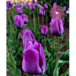 Tulipan Późny Bleu Aimable...