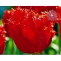 Tulipan Strzępiasty Crystal...
