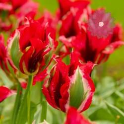 Tulipan Viridiflora...