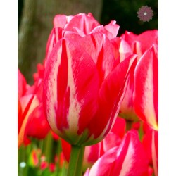 Tulipan Triumph Spryng...