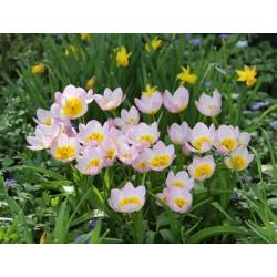Tulipan Botaniczny Lilac...