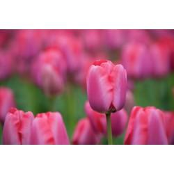 Tulipan Darwina Niigata 5 SZT