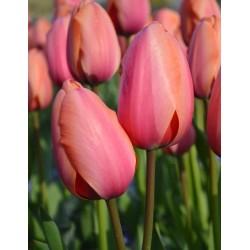 Tulipan Darwina Apricot...